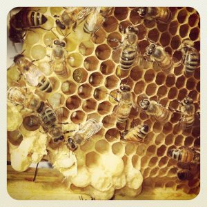 A busy frame in springtime, with worker bees, young larvae, and capped drone brood